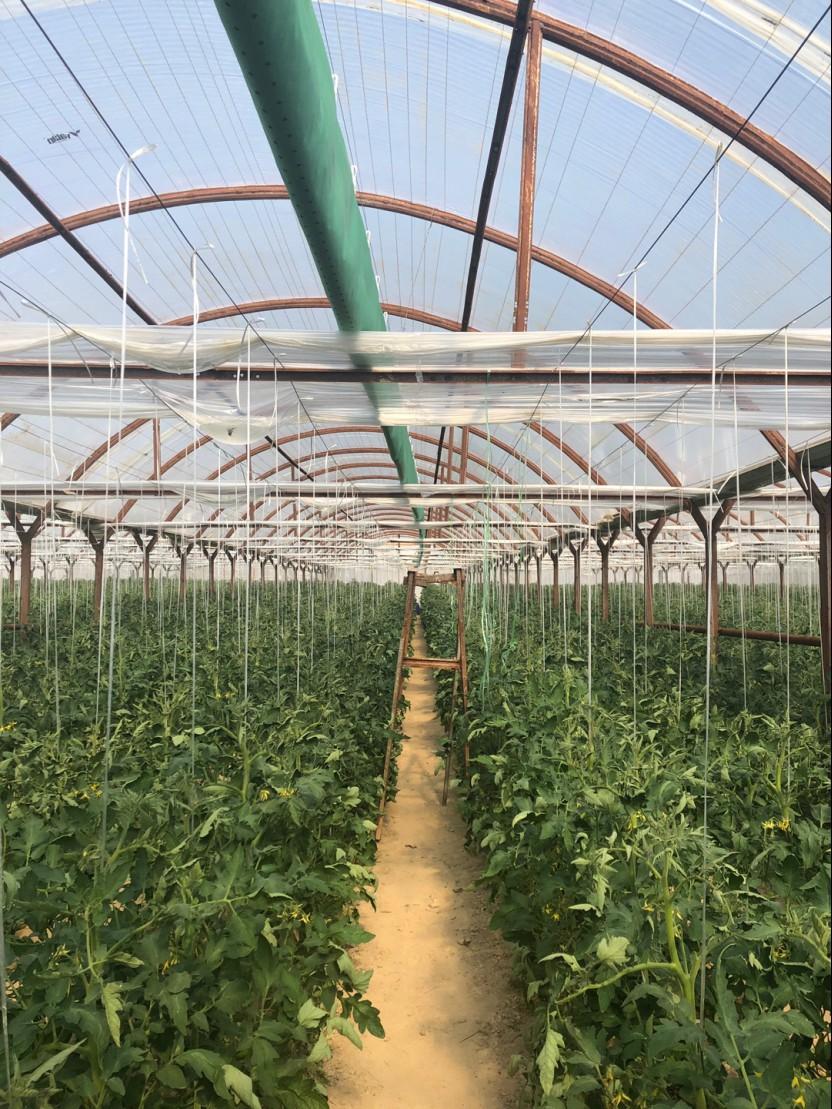 우즈베키스탄 토마토농장